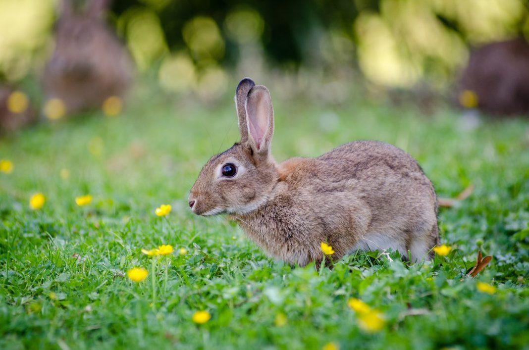 Kanin står på græsplæne med blomster