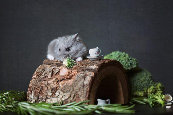 hamster hygger sig oven på sit hjem